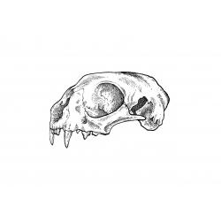 Kacper - wzór czaszka kota