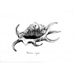 Kacper - wzór muszla Petrocera Rugosa